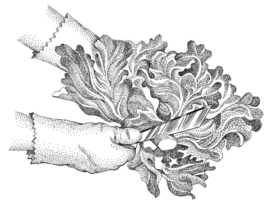 Lettuce_ink_stipple.jpg